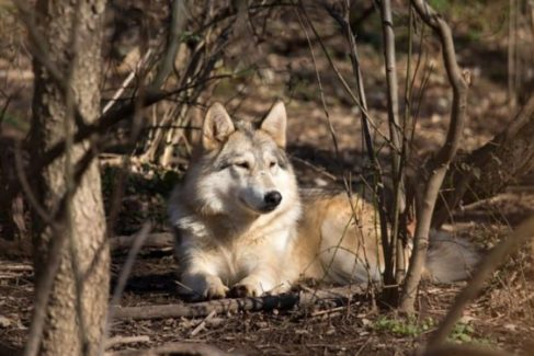 Wolf Sanctuary_Area Attraction_Things to Do